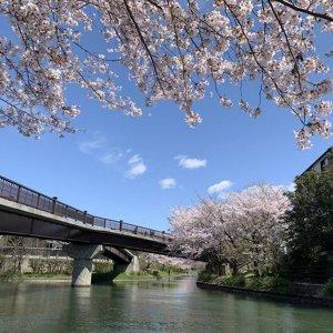 sakura-tokushu-fushimi03